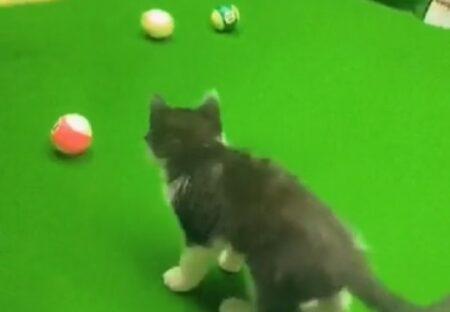 【おしり】ビリヤード台の上でボールを追いかける子猫、夢中になりすぎて穴にすぽっw