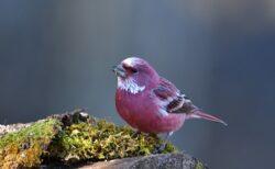 【ピンクすずめ?!】日本で目撃されたオオマシコ・・息をのむ美しさにネット騒然