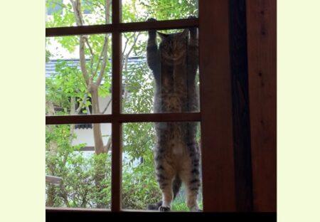 【爆笑】カフェでふと窓を見たら衝撃的な姿の猫がw