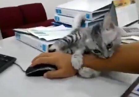 【絶対はなれなーい】マウスを持つ手にしがみついて離れない子猫が話題にw