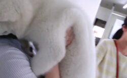 【秋田犬】お姉さんに抱っこされ甘える生後3か月の子犬が話題「無茶苦茶かわいい!」