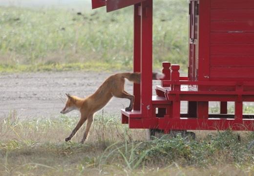 【稲荷神?神使?】深紅の祠から出てきた美しい狐が話題に