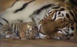 【ふわふわ】ママに甘えながら安心して眠るトラの赤ちゃん、めちゃ可愛い