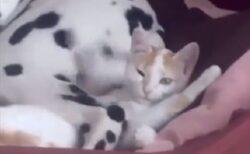 【爆笑】ダルメシアンの足元横で寝ようとする猫、しっぽが頭に当たりまくるw