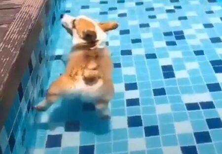 【ぷかん】プールに入るとお尻が浮いちゃうコーギーが話題「なんて可愛いのw」