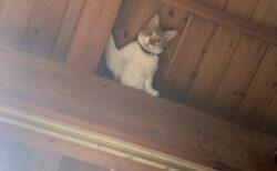 【!】天井のすごい場所から見下ろす猫が話題にw「これは忍び!」