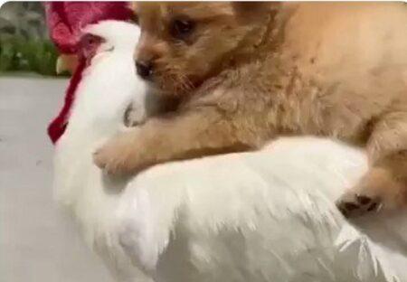 【w】子犬をおんぶして歩くニワトリが話題「どっちもかわいいw」