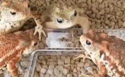 【爆笑】4匹のカエル、ぬけがけした1匹が3匹にすごく責められるw