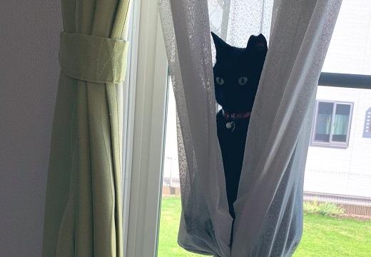 【w】カーテンにすっぽり座る黒猫が話題に「どうなってるの?!」