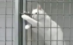 【ちょいちょい】鍵の構造を理解し、ゲージの中から手を伸ばし開錠する天才猫が話題に