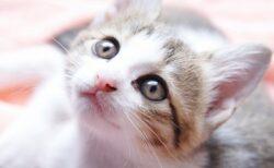【いた!】必死にきょろきょろする子猫。飼い主を見つけた瞬間の行動が可愛いすぎw