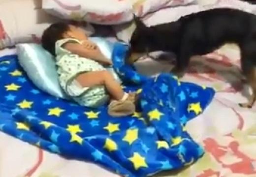 【愛】眠る赤ちゃんに近づく犬。丁寧に布団をかけてあげる姿が話題に