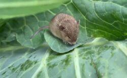 【動画】キャベツの葉につかまり強風に耐える小さなハツカネズミが話題「がんばれ!」