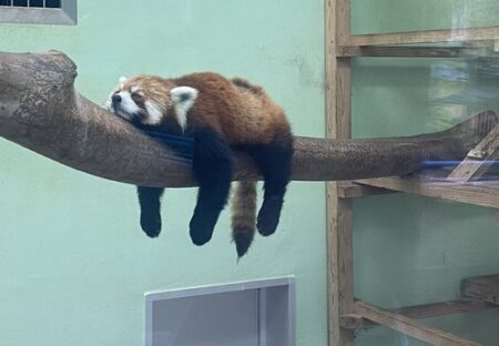 【w】あちこちの動物園で目撃されたやる気なさすぎるレッサーパンダ、可愛い