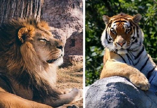 【動画】ライオンとトラの喧嘩が話題「虎の猫パンチ!」「ライオンが・・w」