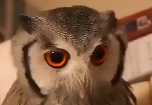 【かっこいい】5秒で戦闘モードに変貌するフクロウが話題「これはガンダム!」