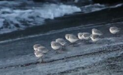 【w】砂浜の餌を食べたい小鳥群団、波と一緒に走り回る様子が可愛いすぎ「突撃ー!」パクパクパクパク