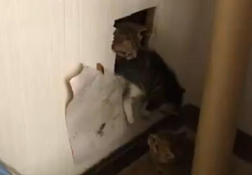 【動画】「壁の中から声?」穴開けてけてみたら子猫!どんどん出てくるw