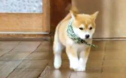 【これは無敵】豆助がテケテケ歩いてくるだけの動画が最強の可愛さ