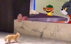 【必見動画】トムとジェリーを真剣に見てる子猫が話題に「動きが実写版すぎるw」