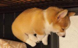 【ひゃー】苦手なシャンプーが終わりすやすや眠るコーギーの子犬!めちゃかわ!