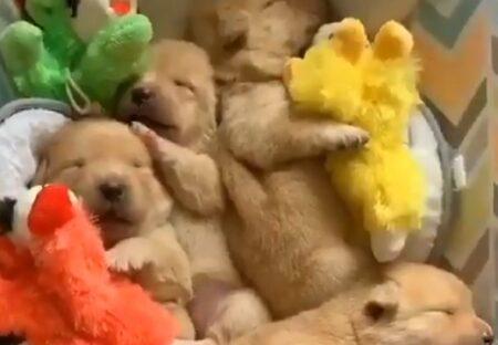 【何匹いるの?!】子犬が密集し眠っているだけの動画が話題「ときどき動く!」「ぬいぐるみみたい」