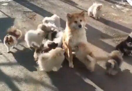 【w】遊んでほしいポメ軍団と、全く興味ない秋田犬が話題「あくびした!」