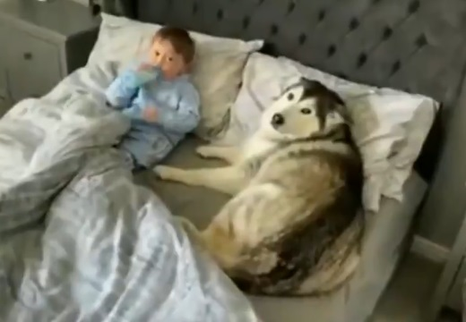 【尊い】ベッドから出るよう言われても頑なに出ないハスキー、赤ちゃんに寄り添い爆睡
