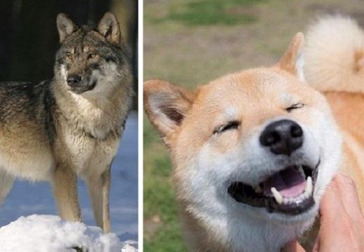 【85種の犬の遺伝子を分析】オオカミに一番近い犬種はなんと柴犬!