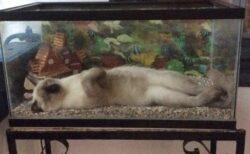 【すっぽり】水槽の中で横になって眠る猫が話題にw