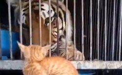 (ΦωΦ) トラより強いねこが話題「トラのビビリ具合(笑」「猫パンチすごい!」