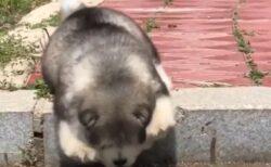 【あわわわ】進むも戻るもできなくなってしまったマラミュートの子犬、たまらない可愛いさw
