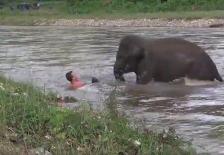 【泣いた】「ヒトが溺れてる!!」勘違いした象の子供、ひとりで救助に向かう