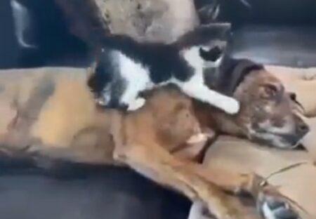 【動画】大きな犬が大好きな子猫と、されるがままの犬が話題にw