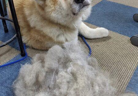 【秋田犬】1度のブラッシングでごっそり!毛量と犬の表情が話題にw