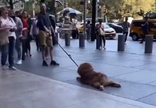 【抱っこー!】頑として動かない散歩中の大型犬が話題にw