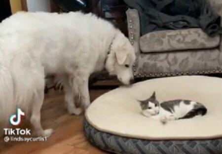 【動画】犬のベッドを占領する猫と容赦ない犬が話題にw