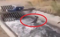 【緊迫】濁流に流される小鹿、間一髪でおじさんが救助!