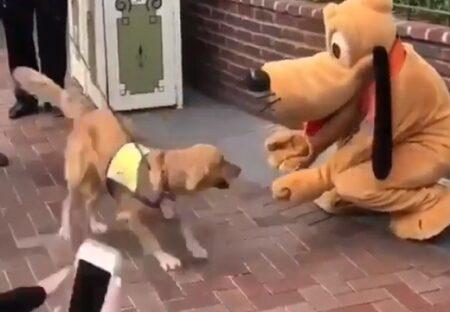 【大興奮】プルートに会えて嬉しさ爆発しちゃう介助犬が話題にw