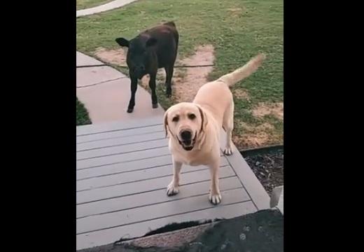 【牛!】友達を連れて帰った犬が話題に「すごく得意げw」