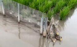 【合鴨農法】一仕事終えてきたカモの精鋭部隊が話題に「ものすっごい居るw!」