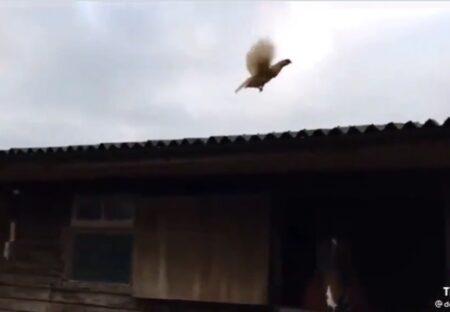 【驚愕】本気出したニワトリ、かなり飛ぶ!!!