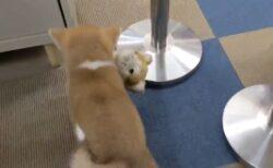 【たまらん】ぬいぐるみを必死に運ぶ秋田犬の子犬が話題にw