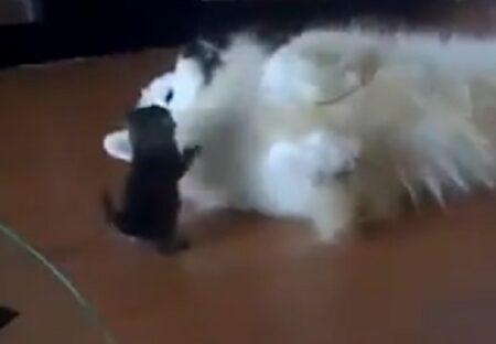 【動画】子猫にわざと負けてあげる大型犬、表情も行動もやさしすぎる・・