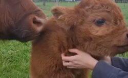 【もっふもふ】スコットランドの牛の赤ちゃんが激かわ!まるでぬいぐるみ!