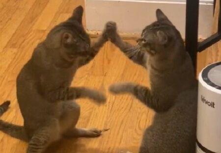 【せっせっせ♪】シンクロする猫2匹、可愛らしすぎる動きが話題に「鏡みたい」