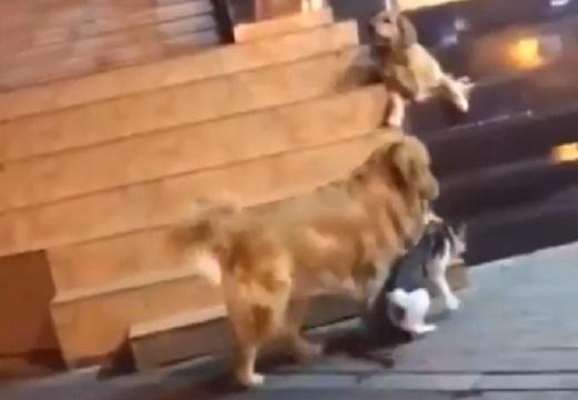【平和主義】一触即発!の猫を連れ帰るゴールデンレトリバーが話題に「母ちゃん感w」