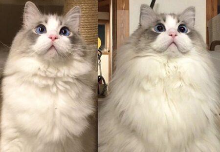 【もふもふ】すっかり冬仕様が完成した美人猫さん、ゴージャスすぎるw