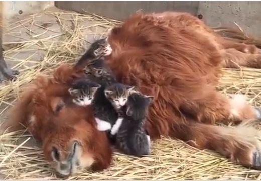 【動画】子猫達に大人気なカピパラをぽつんと眺めるカピパラが話題にw