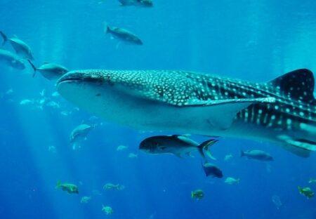 【衝撃映像】魚類で最大種のジンベエザメ、めちゃくちゃ賢いw
